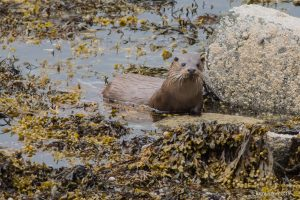 otter amongst seaweed and rock