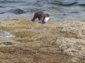 otter_with_fish