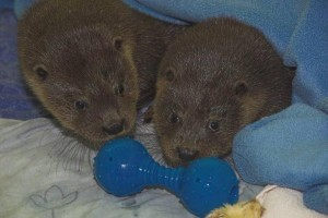 Gribun, the otter cub with friend