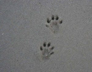 Otter footprints in sand