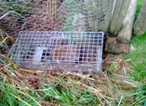 Hedgehog in trap