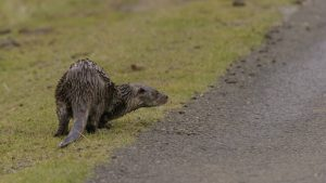 Otter crossing the road