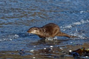 Otter just after release