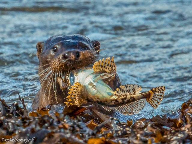 Eurasian otter eating fish