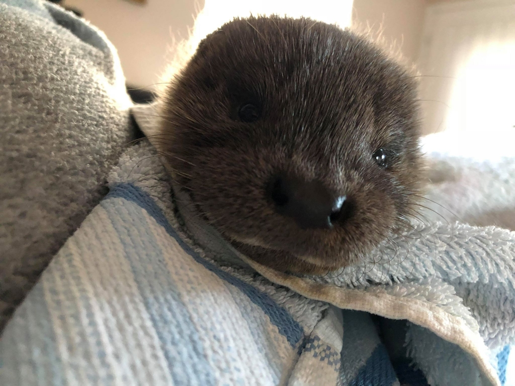 Rescued Otter Cub
