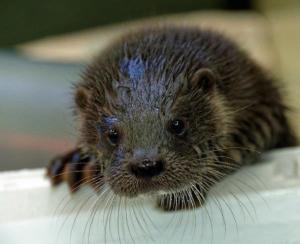 Eurasian Otter Cub