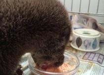 Otter cub feeding