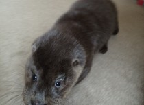 Gribun, the Otter Cub