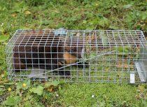 Pine marten in trap