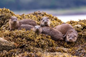 Family of Eurasian Otters
