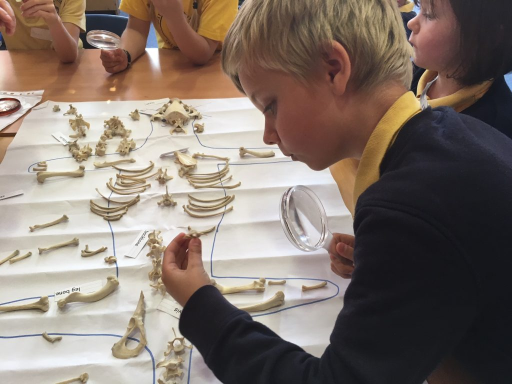 Examining an otter skeleton
