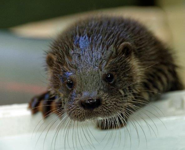 Forsa, the Otter Cub